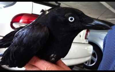 The Most Intelligent Bird On The Planet : Crow Talks Full Documentary